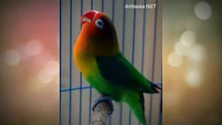 Masteran Teraphy Lovebird Baby jawara, Lb Ngekek Rapet