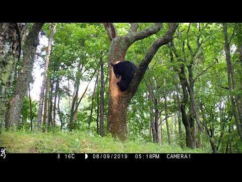 Гималайский медведь (часть 1)
