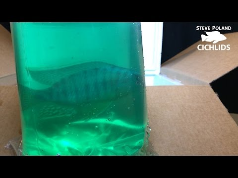 Unboxing New Fish from Ron's Cichlids