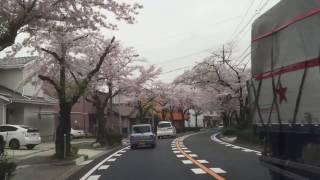 大森金城学院前の桜並木道その1