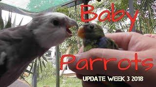 Leg Banding Baby Parrots | Pheasantasiam Update Week 3 2018