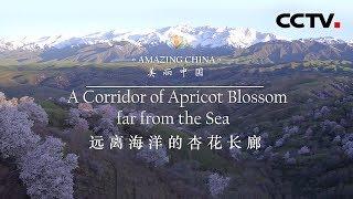 《美丽中国》 远离海洋的杏花长廊 | CCTV