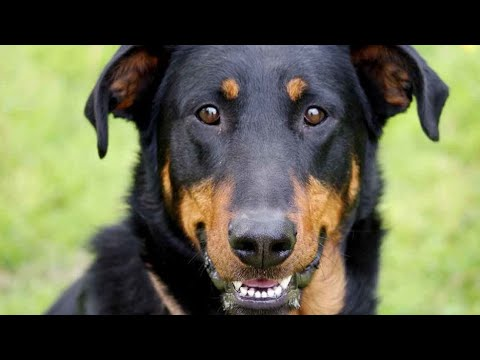 Beauceron Dog Breed Information