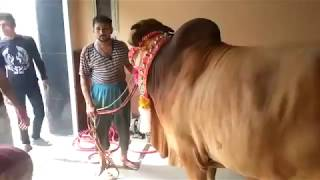 Pakistani Big Ox Cow Qurbani 2018 || Qurbani Bangladesh Official