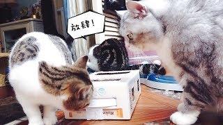 【李喜貓】主人用废纸盒给猫咪们做了个玩具,胖猫为了独占竟对小猫大打出手