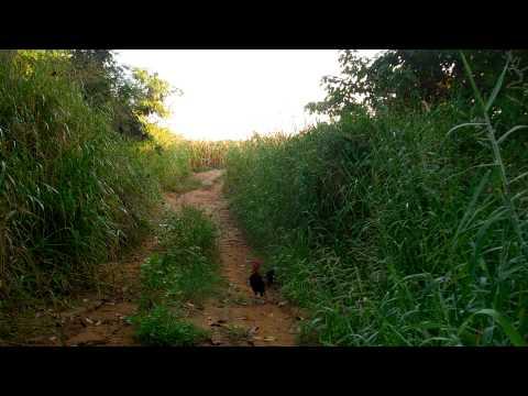 ต่อไก่ป่า 2015 (3)
