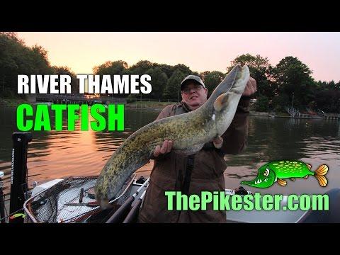 River Thames Catfish