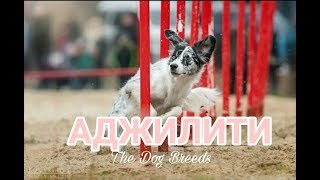 Аджилити с собакой // The Dog Breeds #1