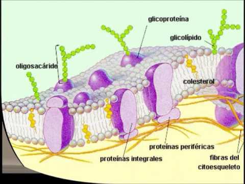 Funcion del colesterol en las membranas celulares