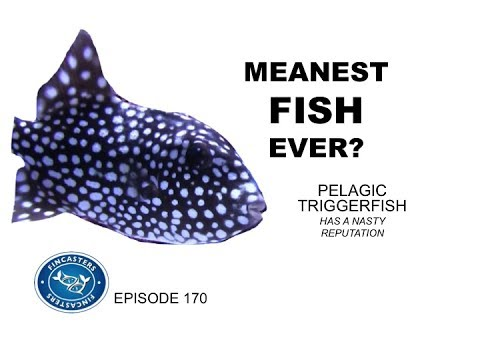 Pelagic Triggerfish Is One Mean Fish Fincasters Episode 170