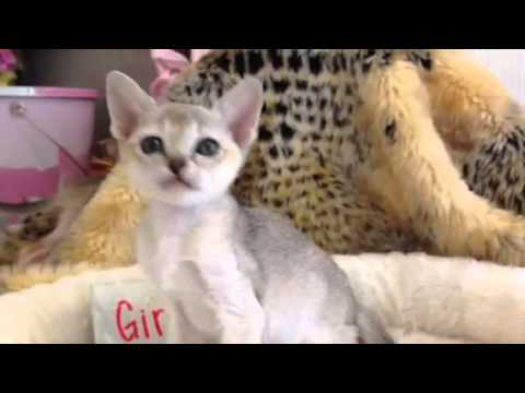 Deciding which Singapura Kitten to Get Pt. 2 (Under 1 lb) - (Smallest Cat Breed!)