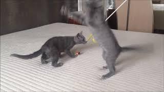 Русские голубые котята. Питомник. Документы