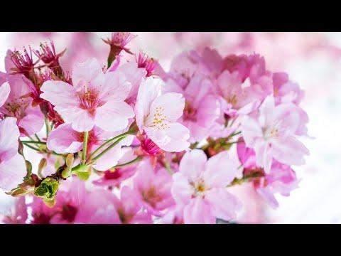 Japan's Cherry Blossom Trees Bloom (Prunus serrulata)