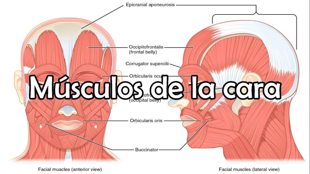 Los músculos de la cara, músculos faciales - Anatomía de la cabeza ...