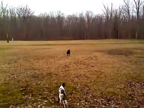 Pit Bull and Brittany Pup Catching Frisbee