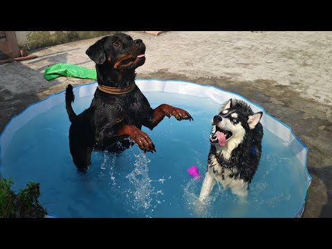 ROTTWEILER AND HUSKY BATH DAY WITH OWNER || Dog Can Talk Part 61 || Roxy, Cheeni, Review reloaded