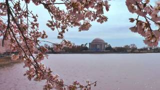 Cherry Blossom Trees : Washington DC : Mood Music Video