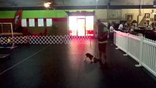 10 Mo Cavalier King Charles Spaniel, Dog Training Charlotte North Carolina