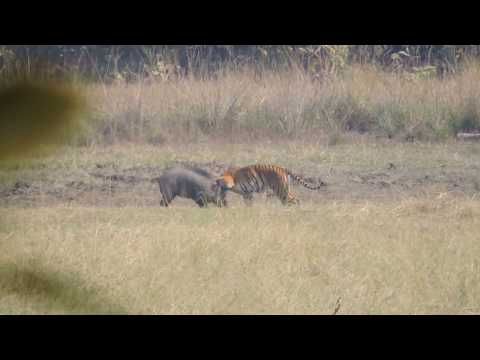 Tiger Attacks Wild Boar - Tadoba National Reserve ( See Description ). Situation Flips At 7:30