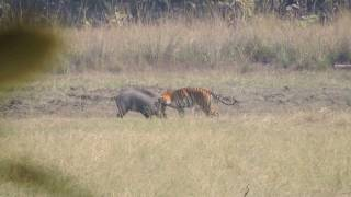 Repeat youtube video Tiger Attacks Wild Boar - Tadoba National Reserve