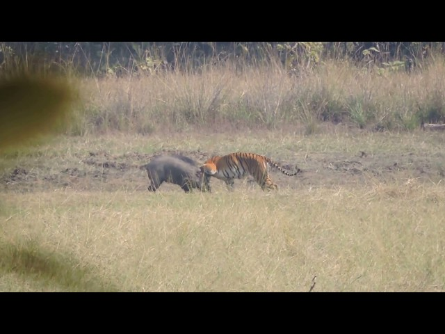 Tiger Attacks Wild Boar - Tadoba National Reserve ( see Description for Situation )