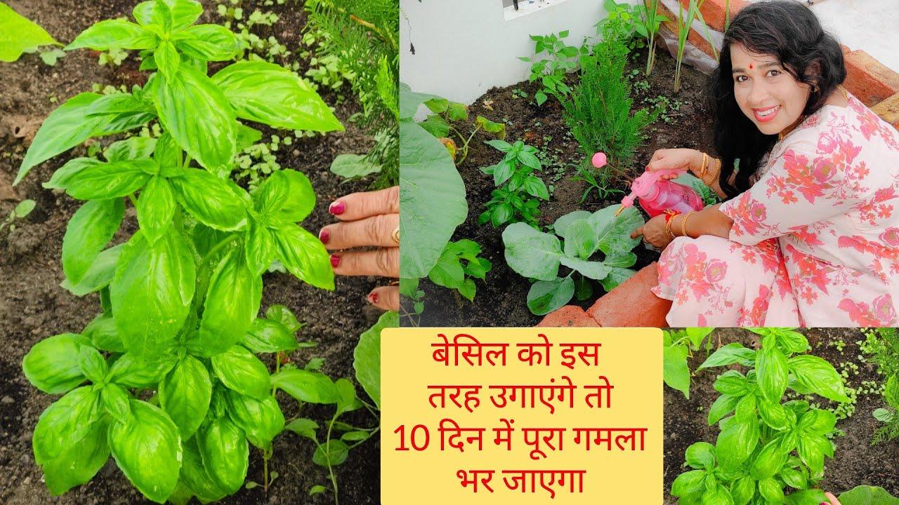 बेसिल को बीजों से घर पर उगाने का सबसे आसान तरीका How to grow Basil plant from seeds? Basil Plant