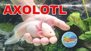 Аксолотль ручной. Аквариум для нового питомца   Axolotl in aquarium.