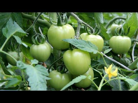 После Этой Подкормки Томаты Просто Усыпаны Плодами! | выращивание | подкормить | помидоров | подкормка | помидоры | томатов | томаты | подкор | чем | для