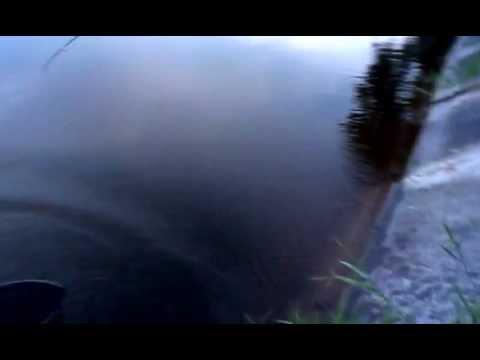 Белый амур на абрикос - YouTube