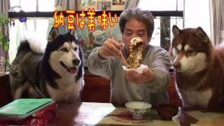 朝ご飯は納豆で決まり、ハスキー犬達の大好物 fermented acquired taste husky thumbnail