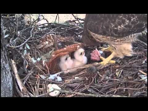 Red Tailed Hawk nest  3 21 15  537am