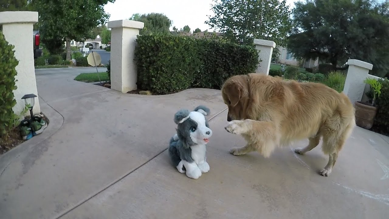 Golden Retriever Vs Fake Husky Puppy Oshies World Youtube