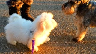 Coton De Tulear Puppy Walking | Jellybean