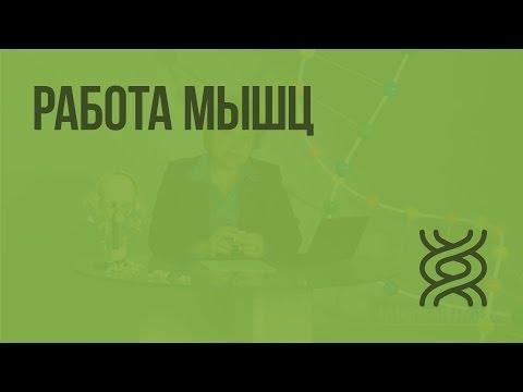 Видеоурок работа мышц