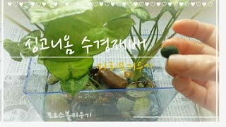 반려식물키우기/마리모키우기/모오스볼키우기/싱고니옴수경재…