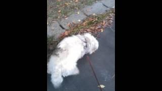 チロさん、9歳ですがまだまだ元気です(^-^)近所の公園でお散歩。