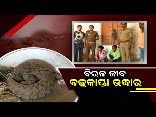 Forest Dept Rescues Rare Pangolin From Nabarangpur, Arrests Two