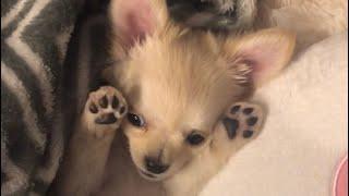 お腹おっぴろげ〜 #チワワ #犬.