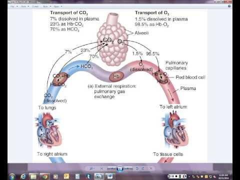 Chapter 23 - Internal and External Respiration