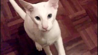 Порода кошек. Форин Вайт,Характеристика и стандарт кошки