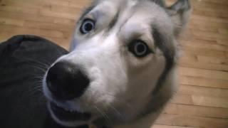 Siberian Husky Supernote! Go Team Vlogbrothers! Nerdfighters Ftw! Dog On Rhett And Link