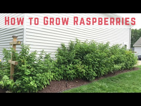 How to Start Growing Raspberries [Compilation]