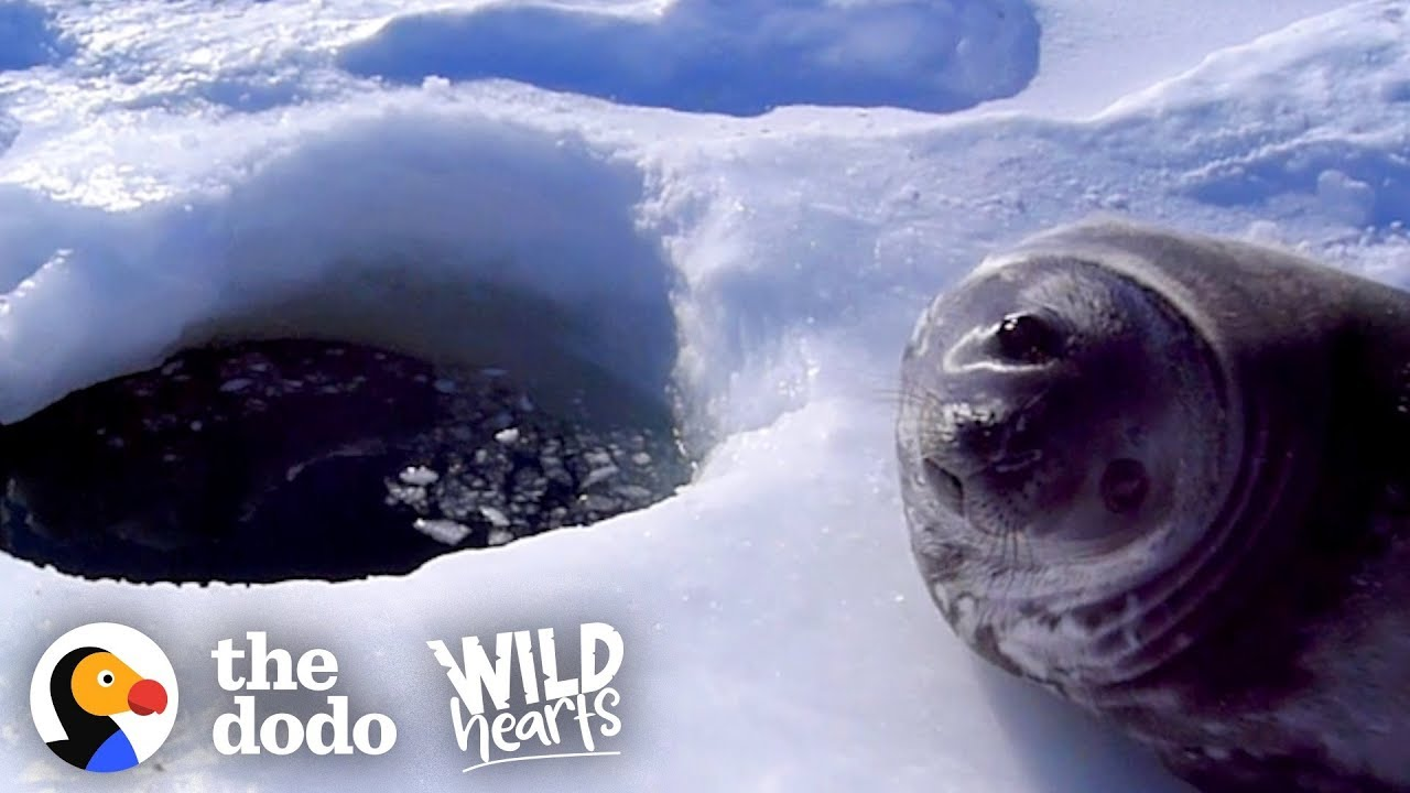 Watch this wild baby seal overcome his fear of the water! | The Dodo Wild Hearts