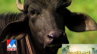 Low cost baffallo farming - Manorama News Nattupacha