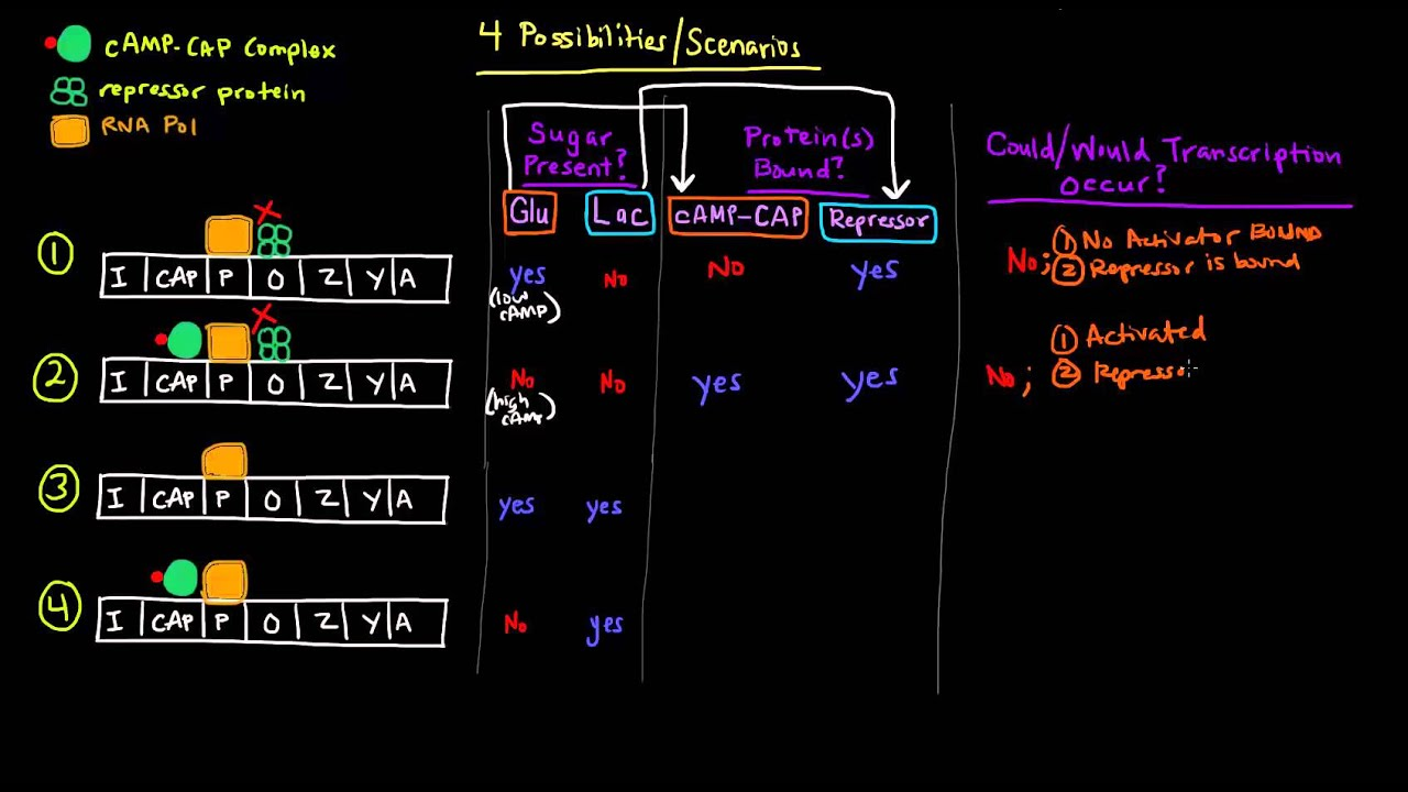 2e84c584284 Prokaryotic Transcription (Part 3 of 5) - CAP Site and Catabolite  Repression of lac Operon