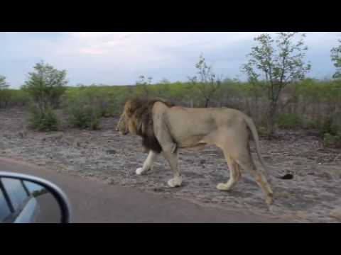 ANGRY Lion Shows Tourist Why You Should Keep Car Windows Closed Lion Attacks Tourist - YouTube