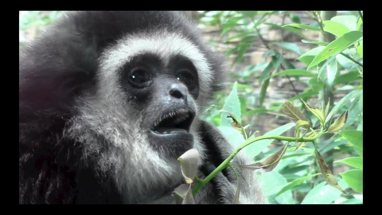 Gibbon screaming:Animal Video - YouTube