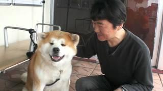 秋田県大館市大館駅に5月4と5日に、秋田犬触れ合いコーナーがありま...
