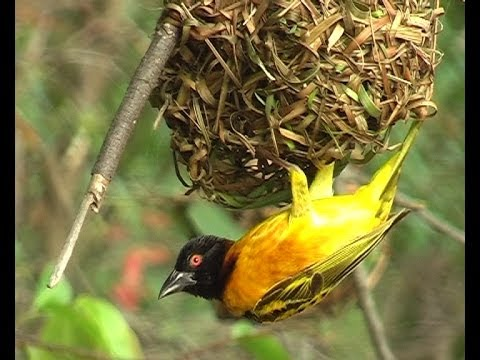Birds Weaving Nests For Dating