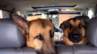 Guilty, Bad, Dogs! Very Naughty German Shepherds Being Vindictive Hahaha